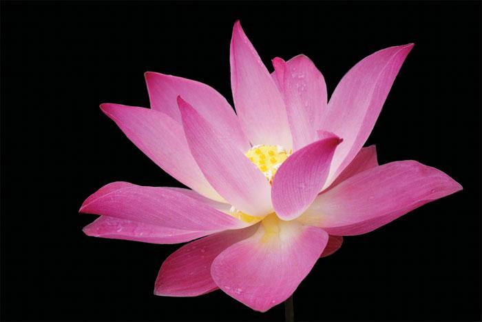 фото цветов лотоса: