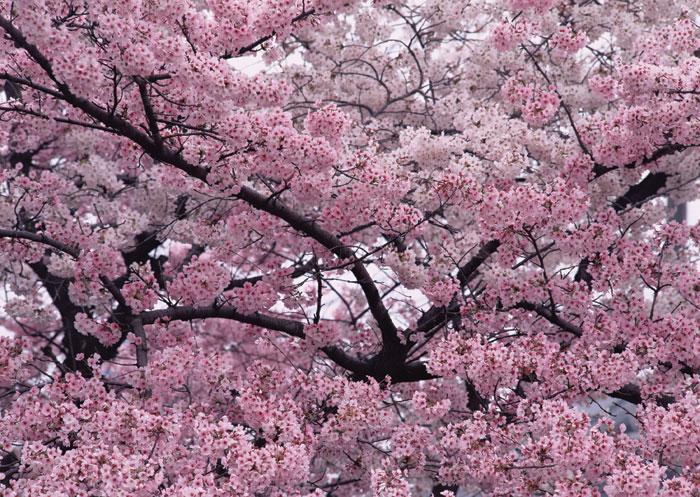 Cherry flower tree.